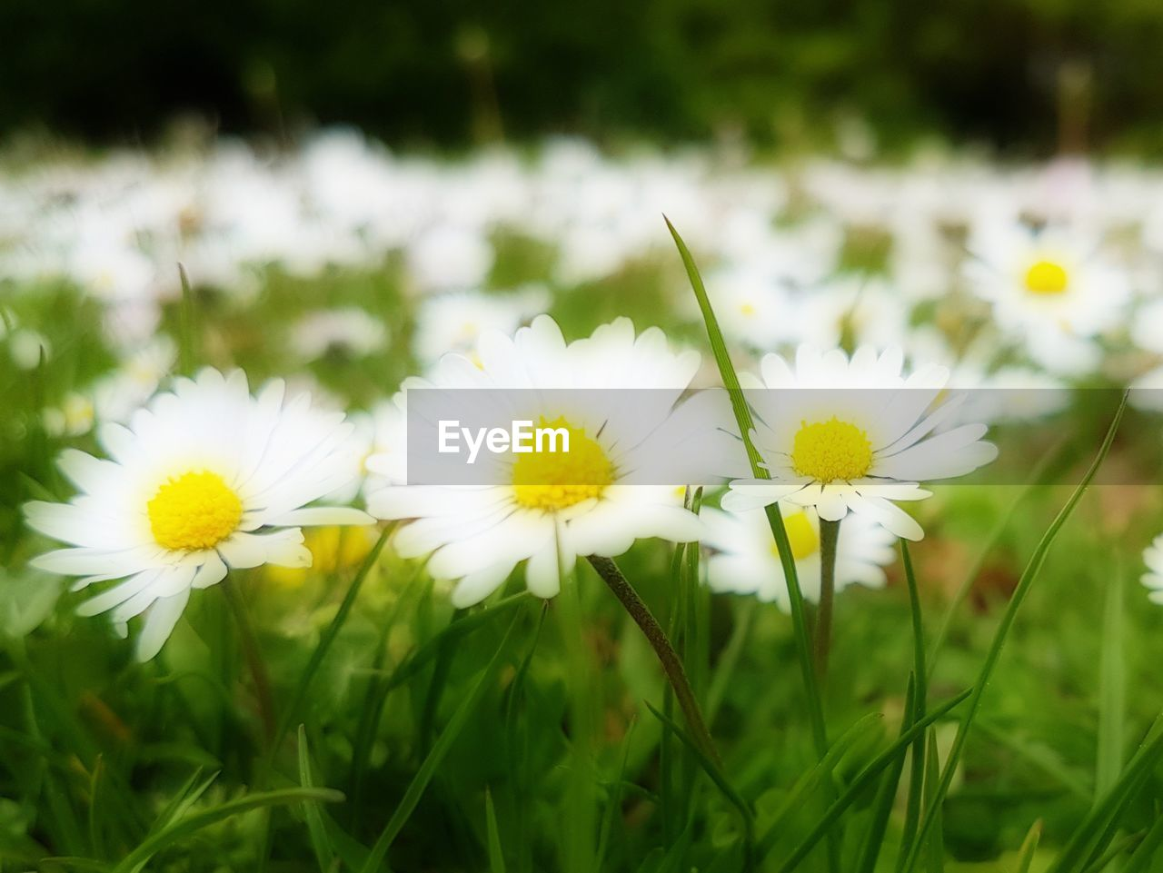 flower, nature, yellow, beauty in nature, growth, petal, fragility, plant, freshness, white color, grass, field, flower head, outdoors, no people, blooming, day, close-up, crocus