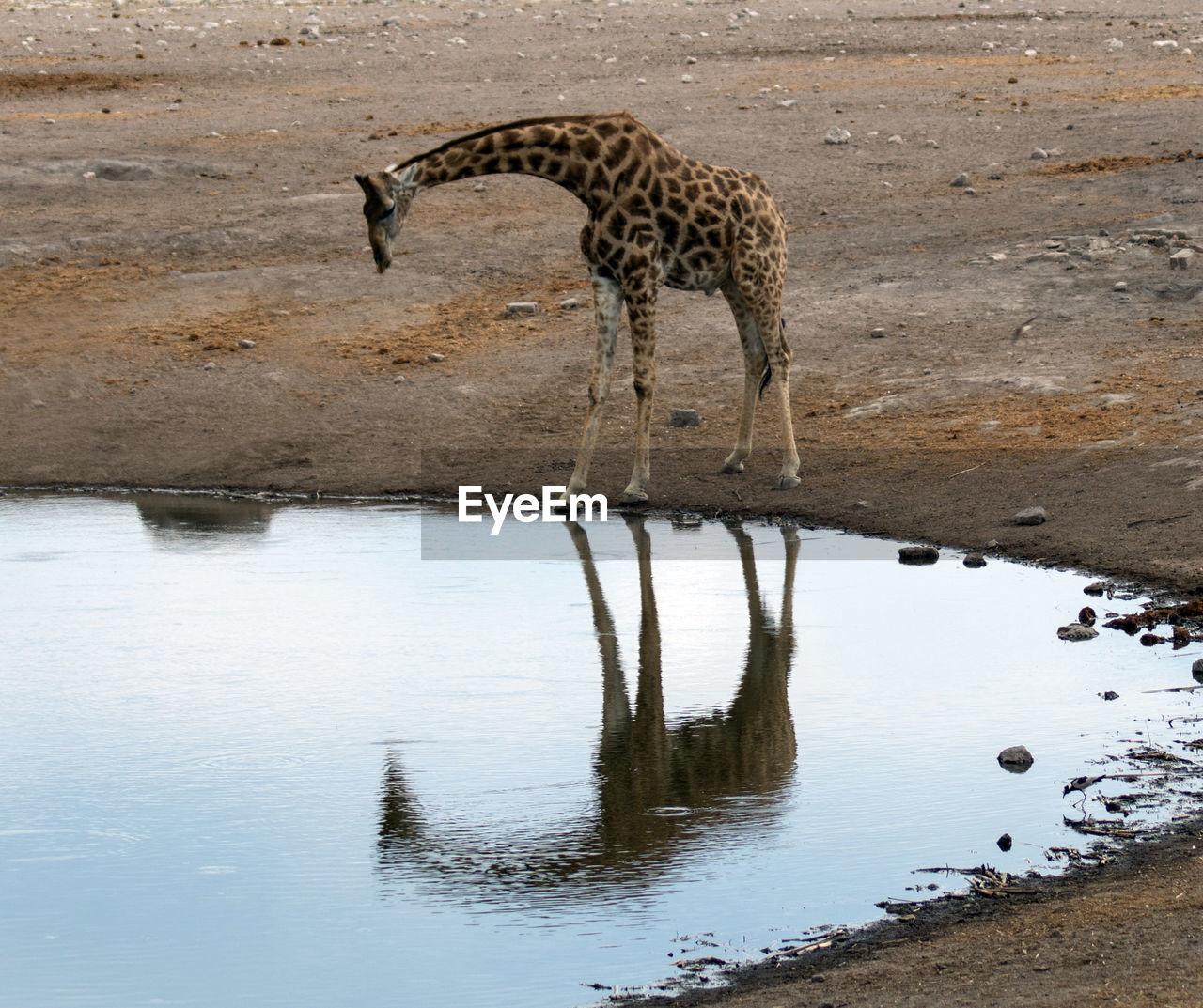 animal themes, animal, water, animal wildlife, one animal, reflection, animals in the wild, mammal, nature, drinking, no people, giraffe, drink, lake, day, safari, vertebrate, waterfront