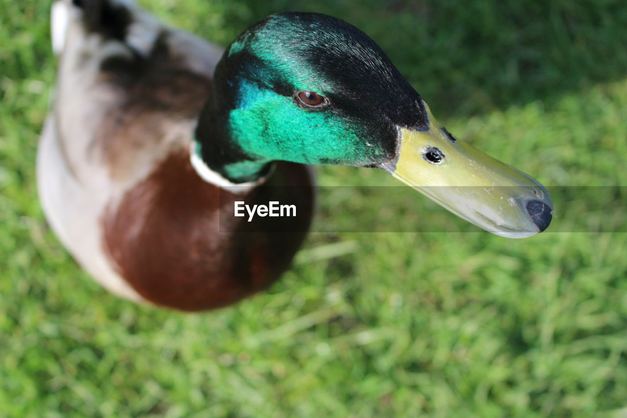 bird, animal themes, animals in the wild, one animal, beak, animal wildlife, duck, close-up, no people, day, outdoors, nature