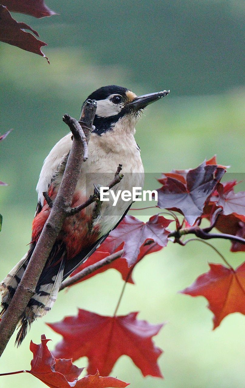 bird, leaf, animal themes, animals in the wild, nature, perching, no people, day, beauty in nature, one animal, focus on foreground, autumn, outdoors, animal wildlife, close-up, tree