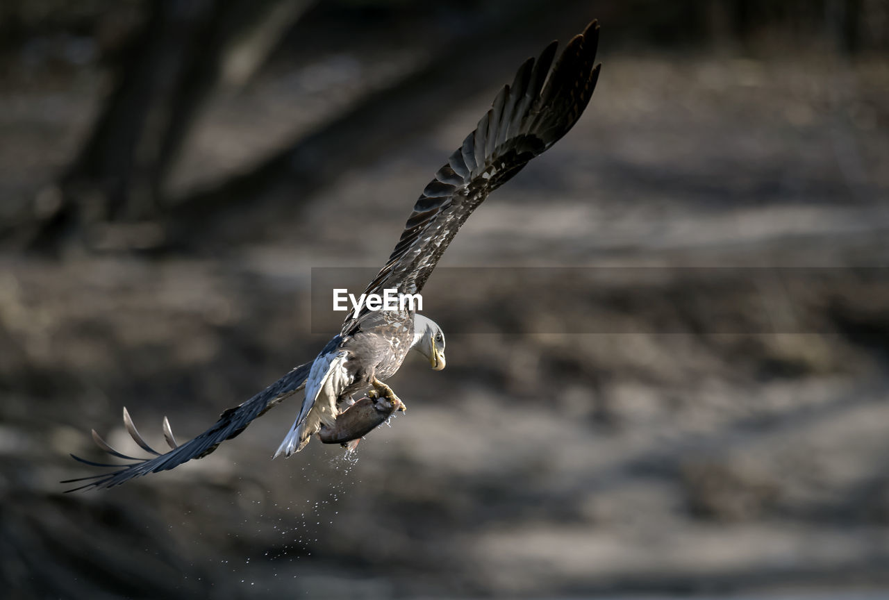 one animal, animals in the wild, focus on foreground, flying, day, no people, animal themes, vertebrate, animal, nature, animal wildlife, water, bird, spread wings, motion, outdoors, close-up, mid-air, bird of prey