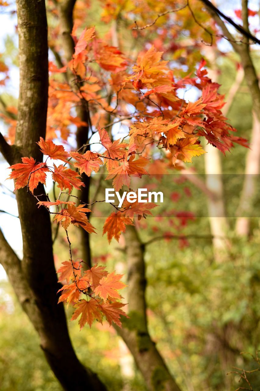 plant, growth, tree, beauty in nature, autumn, branch, orange color, focus on foreground, day, change, fragility, vulnerability, nature, close-up, no people, flowering plant, plant part, flower, leaf, outdoors, maple leaf, flower head, leaves, natural condition