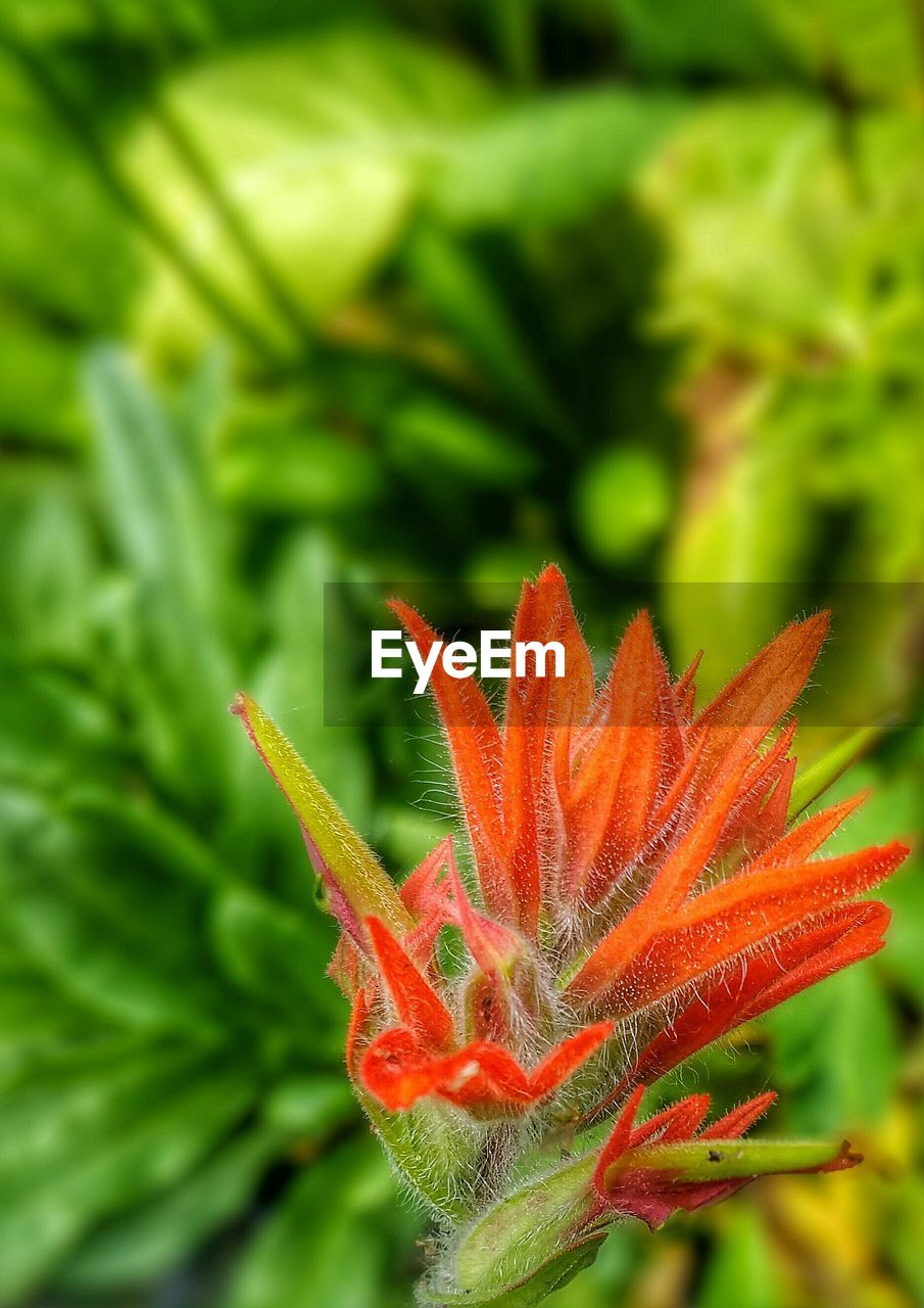 green color, growth, nature, orange color, plant, close-up, beauty in nature, no people, outdoors, freshness, day, focus on foreground, water, flower, day lily, flower head, animal themes