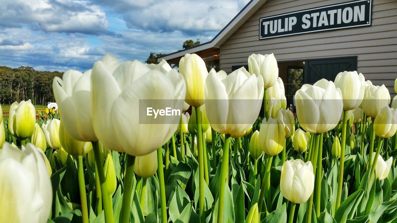 flower, flowering plant, plant, beauty in nature, vulnerability, fragility, freshness, nature, growth, close-up, petal, flower head, day, inflorescence, field, white color, green color, no people, tulip, land, outdoors