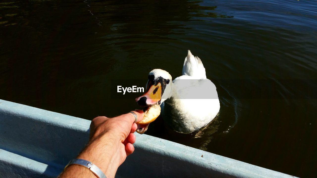 Cropped Hand Feeding Swan By Lake