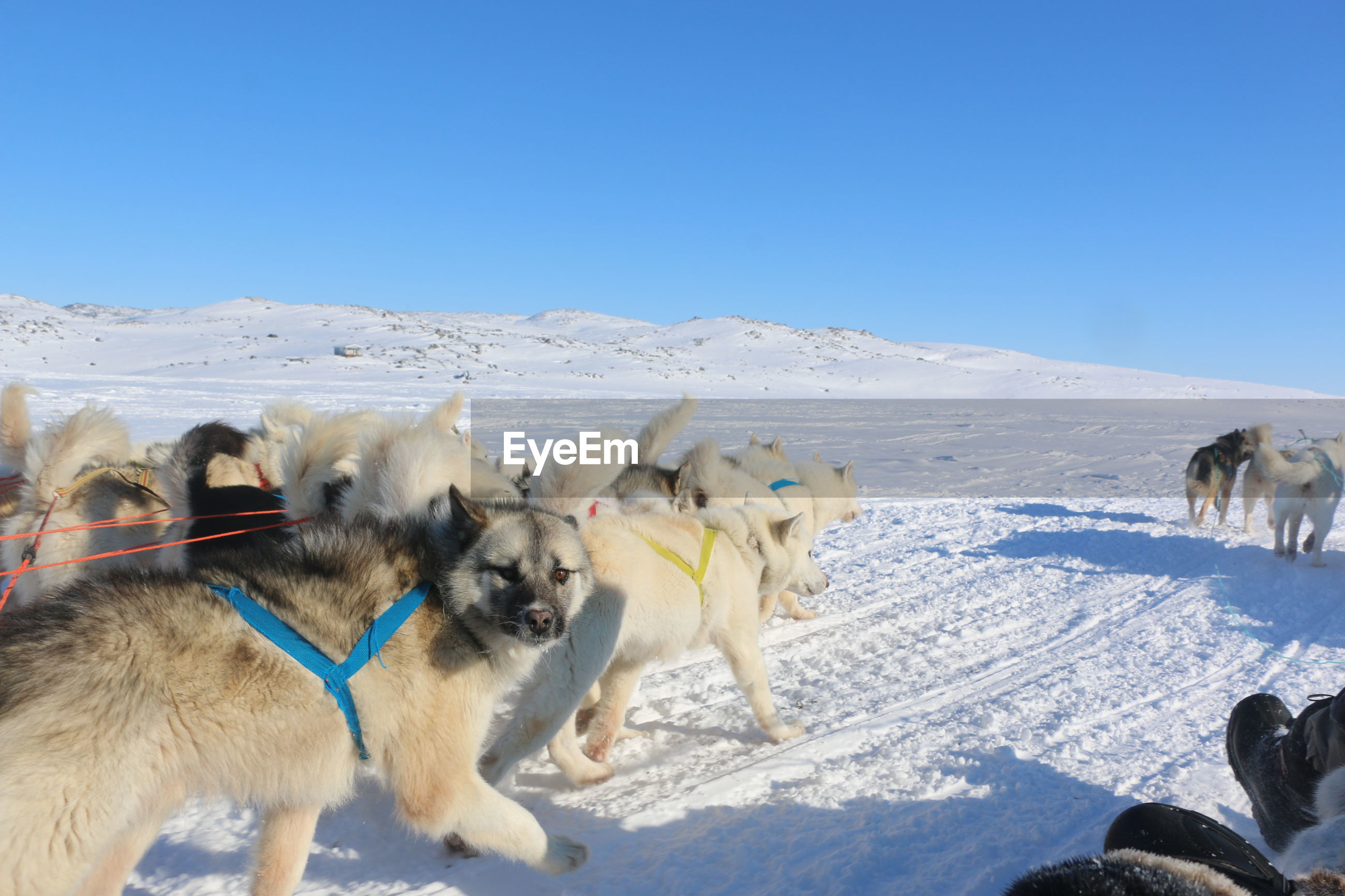 Huskies on snow covered landscape against clear sky
