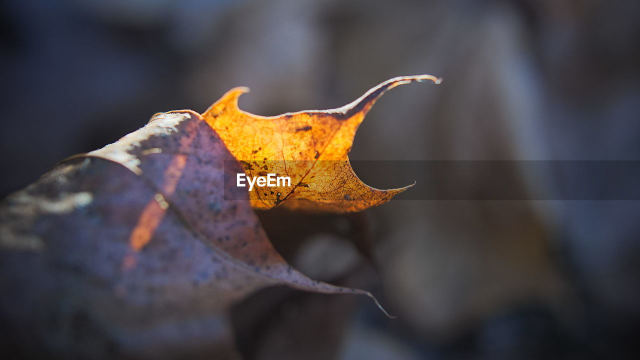 leaf, plant part, autumn, change, close-up, nature, dry, selective focus, day, leaf vein, beauty in nature, leaves, no people, vulnerability, fragility, focus on foreground, plant, yellow, outdoors, maple leaf, dried, autumn collection, natural condition, fall