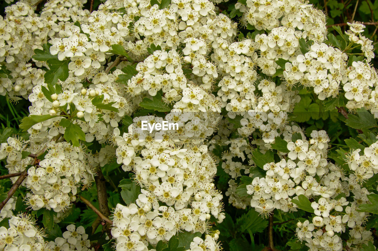 freshness, flowering plant, flower, green color, beauty in nature, plant, day, close-up, no people, growth, full frame, white color, nature, food and drink, leaf, fragility, plant part, vulnerability, food, high angle view, outdoors, flower head