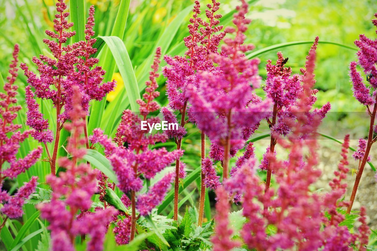 flowering plant, flower, pink color, freshness, growth, plant, beauty in nature, vulnerability, fragility, selective focus, close-up, day, nature, no people, green color, inflorescence, flower head, botany, outdoors, petal, purple, lilac, spring