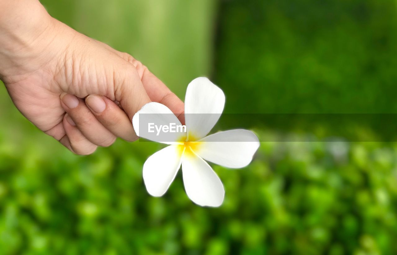 flower, flowering plant, human hand, plant, freshness, hand, fragility, beauty in nature, vulnerability, petal, white color, human body part, inflorescence, flower head, holding, one person, day, real people, close-up, focus on foreground, frangipani, finger
