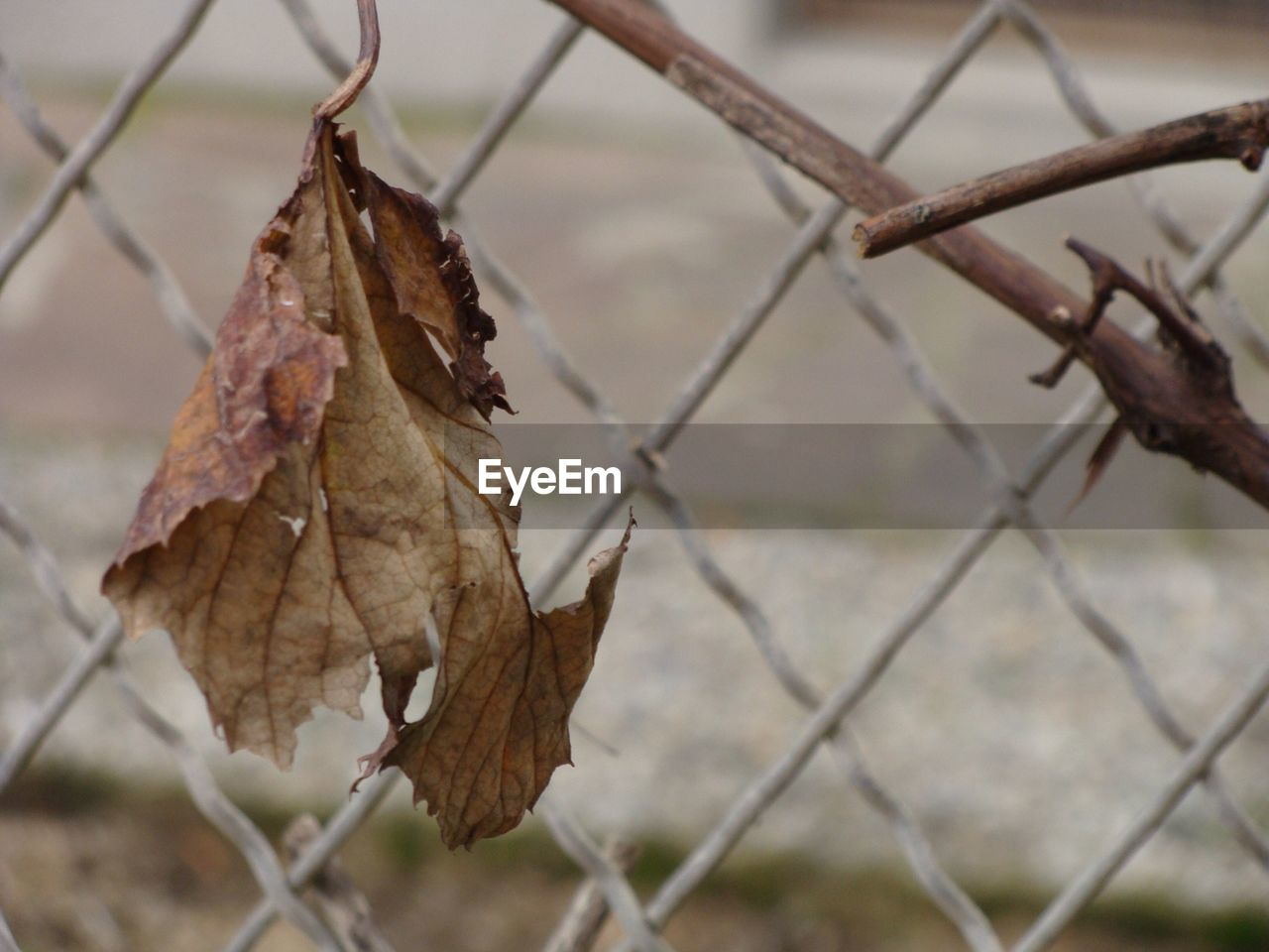 Dry Leaf Against Chainlink Fence