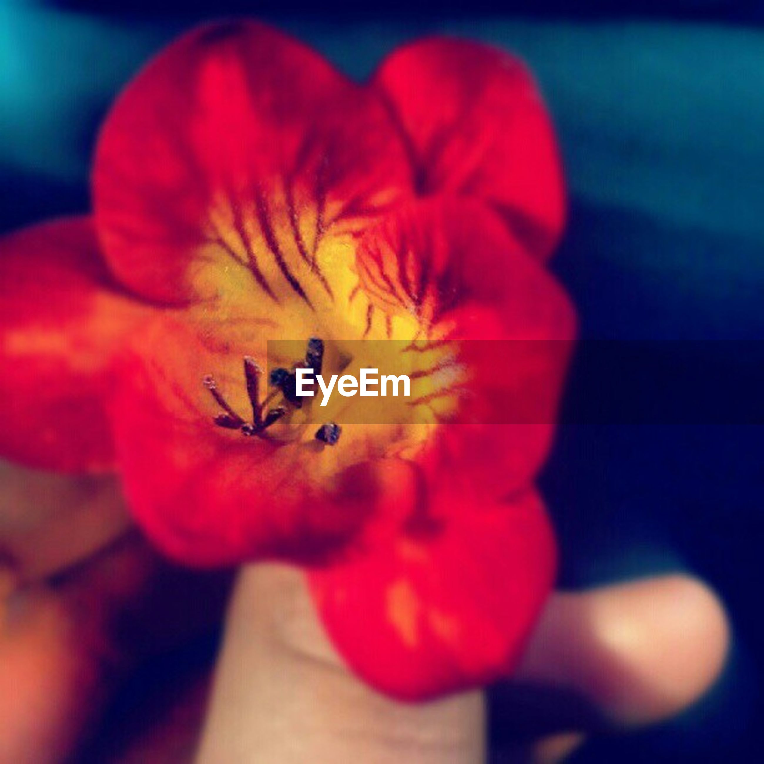 flower, petal, flower head, freshness, fragility, close-up, pollen, single flower, beauty in nature, focus on foreground, stamen, nature, blooming, growth, selective focus, red, person, in bloom, yellow, holding