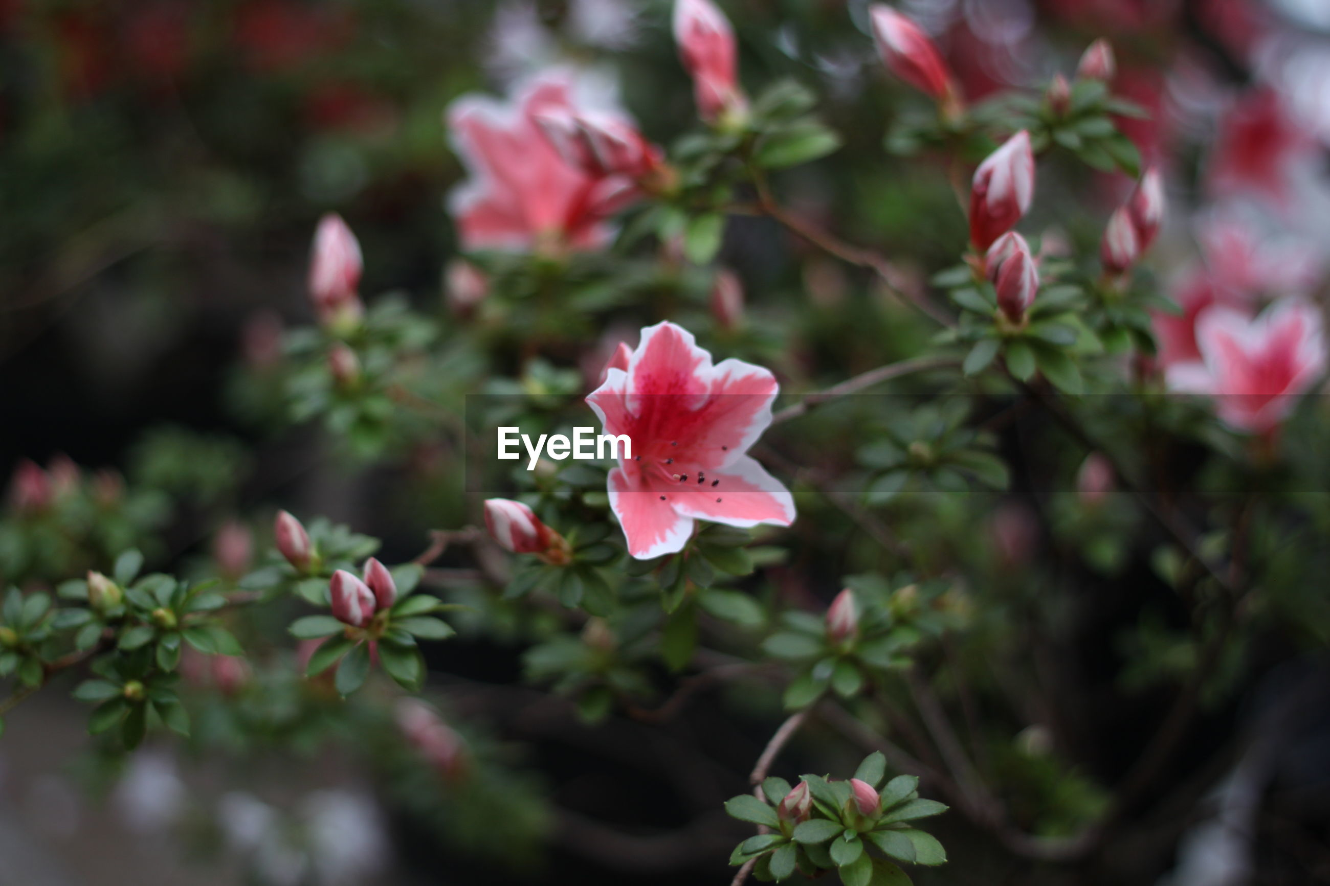 flower, growth, nature, pink color, petal, plant, beauty in nature, freshness, flower head, fragility, blooming, close-up, outdoors, no people, day, rhododendron