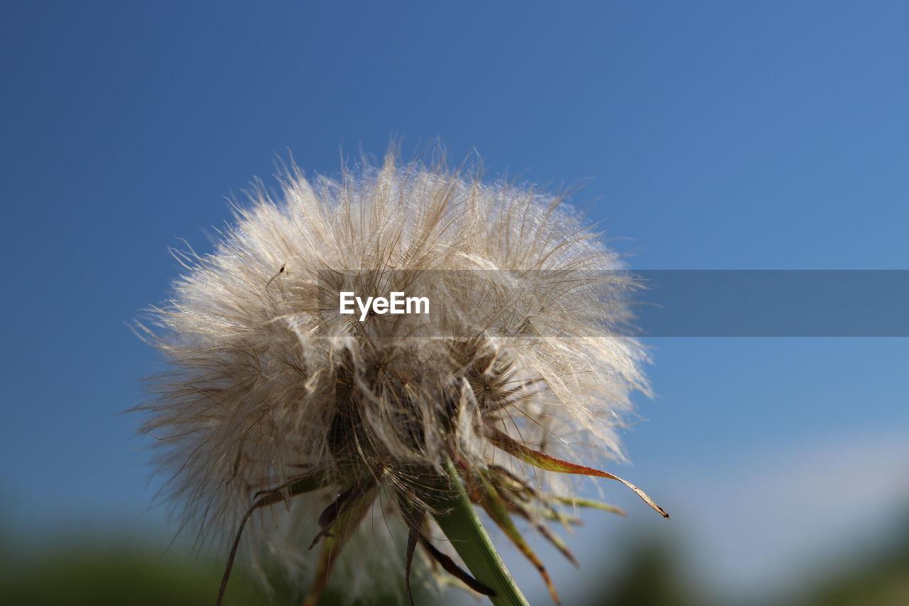 CLOSE-UP OF DRIED DANDELION AGAINST BLUE SKY