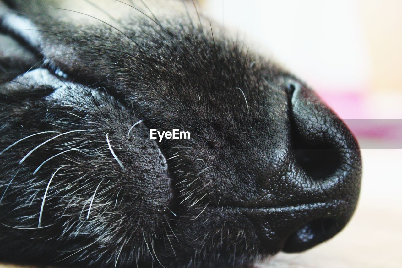mammal, one animal, animal, animal themes, domestic animals, pets, domestic, close-up, animal body part, vertebrate, relaxation, dog, no people, canine, focus on foreground, cat, sleeping, animal head, indoors, feline, whisker, animal nose, animal mouth, snout