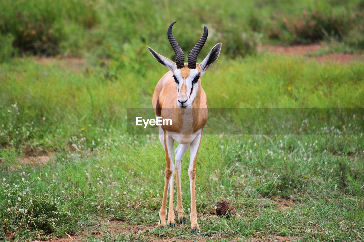 Antelope standing on field