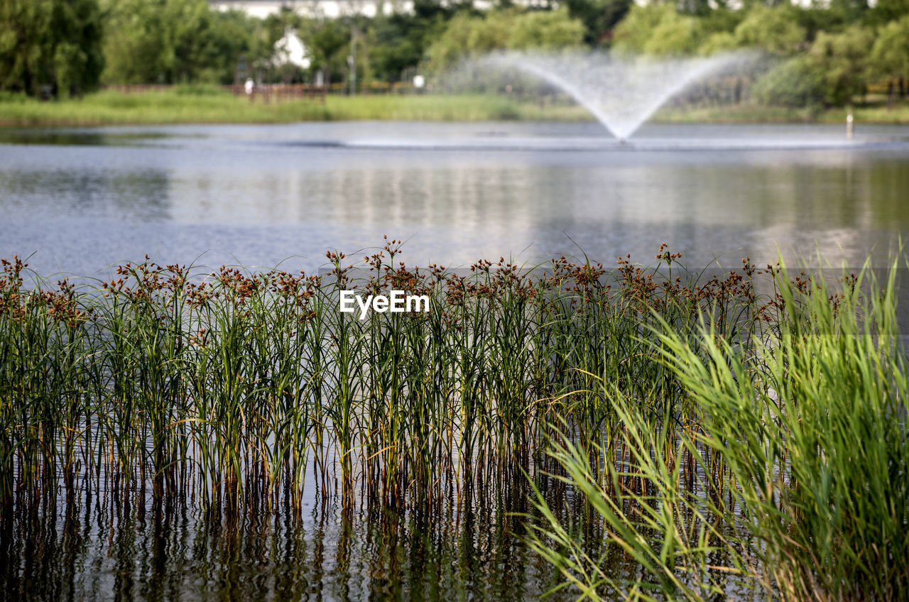 Grass growing against fountain in lake at park