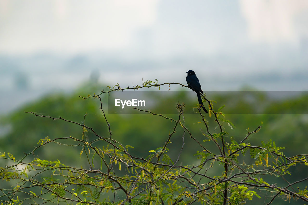 animal, bird, animal themes, vertebrate, animal wildlife, animals in the wild, one animal, perching, plant, no people, day, focus on foreground, nature, green color, tree, branch, outdoors, black color, selective focus, growth