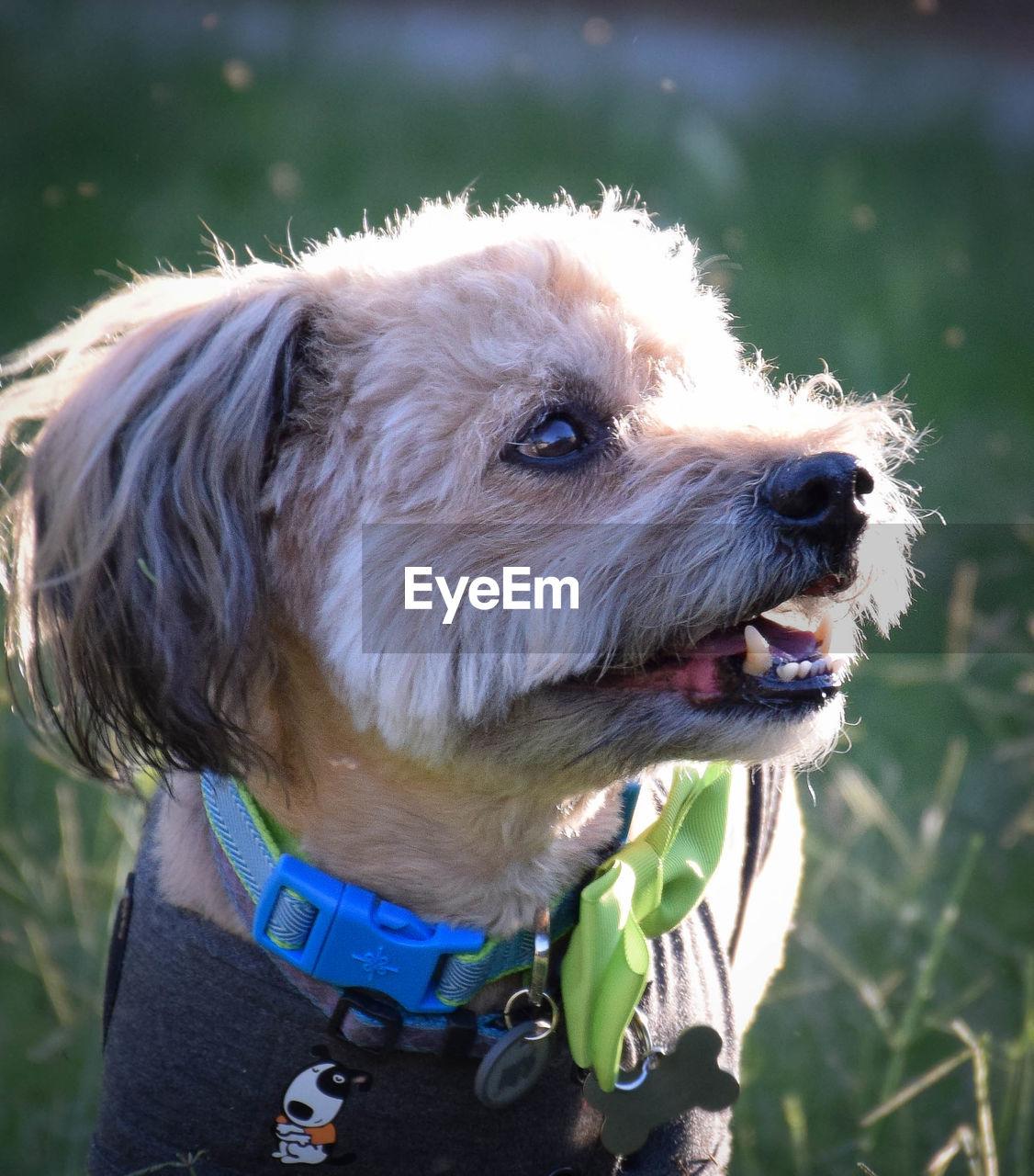 Close-up of pet dog looking away