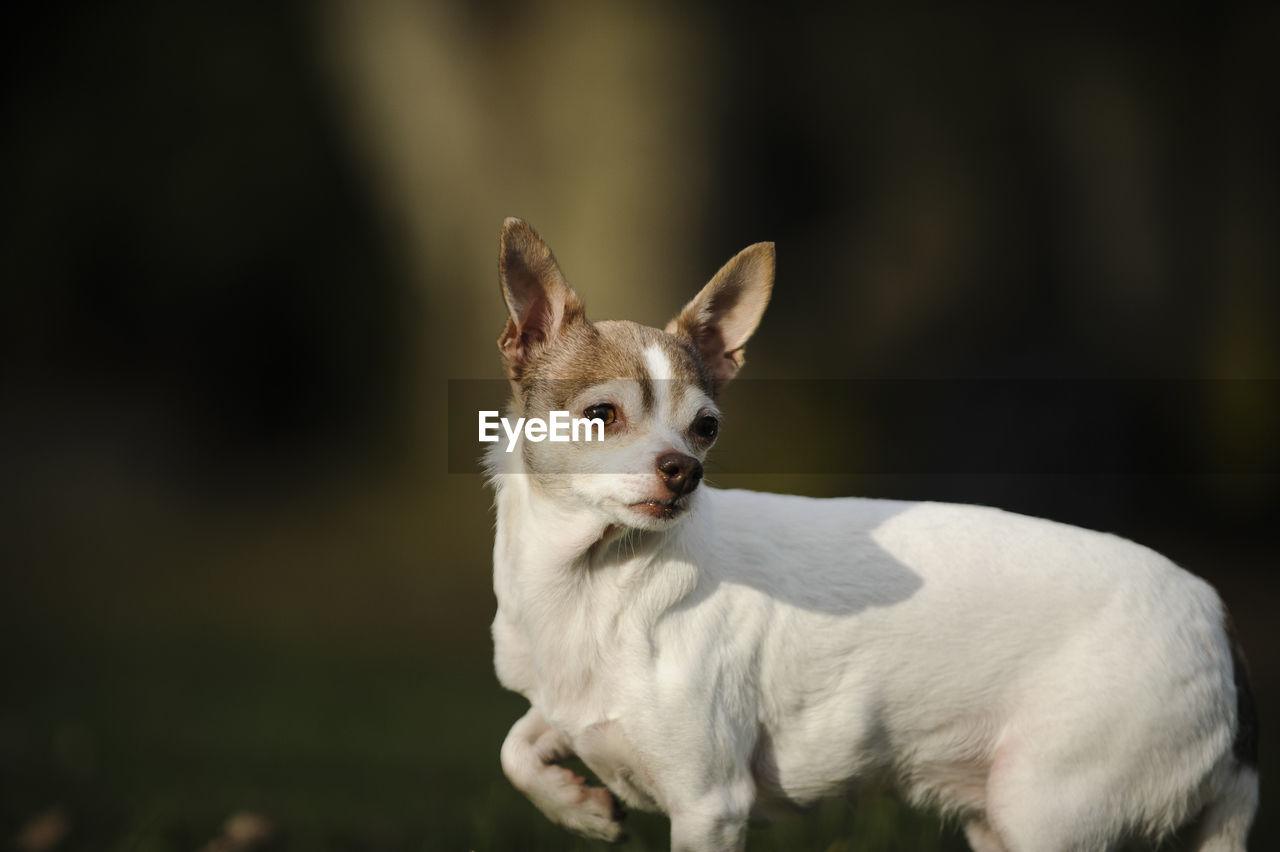 Side View Of White Chihuahua Dog