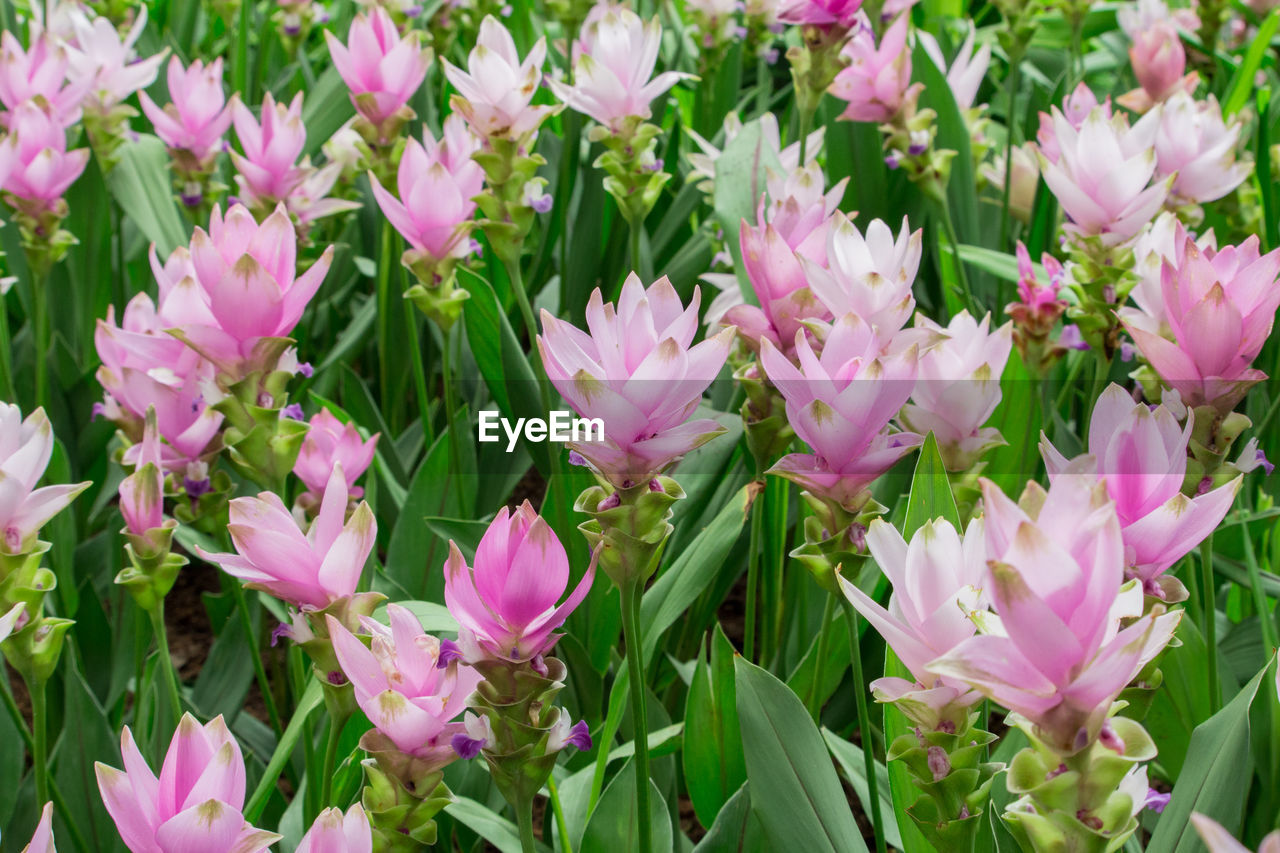 flower, pink color, petal, nature, fragility, plant, beauty in nature, growth, no people, freshness, flower head, day, purple, outdoors, green color, blooming, close-up
