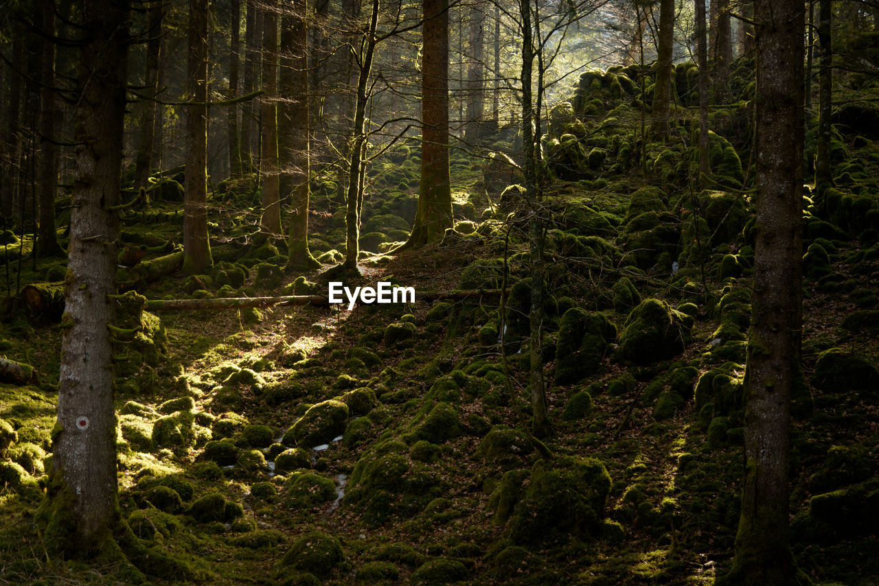 tree, forest, land, plant, tree trunk, trunk, woodland, nature, tranquility, growth, beauty in nature, tranquil scene, no people, day, sunlight, outdoors, scenics - nature, environment, moss, non-urban scene, rainforest
