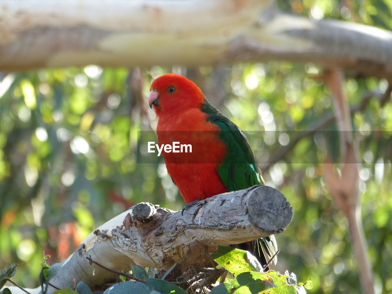 vertebrate, animal themes, animal, bird, perching, animal wildlife, animals in the wild, tree, parrot, one animal, focus on foreground, branch, day, plant, no people, nature, outdoors, red, full length, close-up, rainbow lorikeet