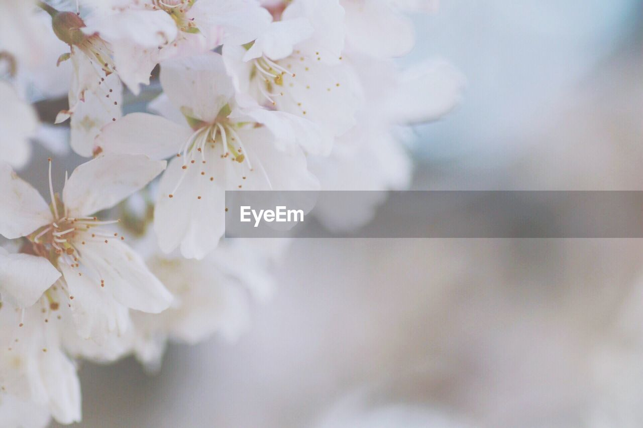 flower, fragility, beauty in nature, white color, springtime, blossom, freshness, nature, apple blossom, apple tree, botany, growth, close-up, branch, petal, twig, stamen, orchard, tree, pollen, day, no people, flower head, outdoors, selective focus, plum blossom, blooming