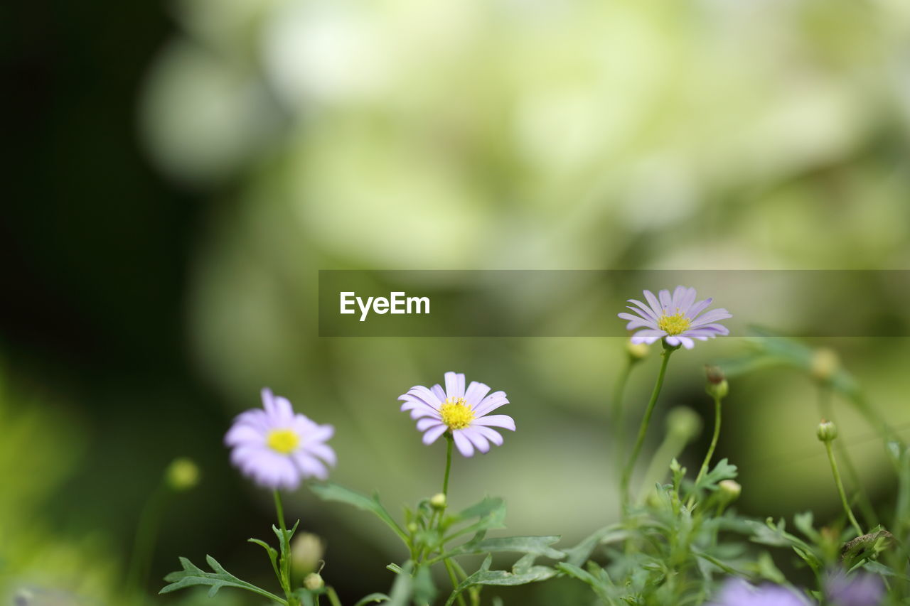 flower, fragility, nature, growth, petal, beauty in nature, flower head, blooming, plant, freshness, no people, day, outdoors, close-up, osteospermum