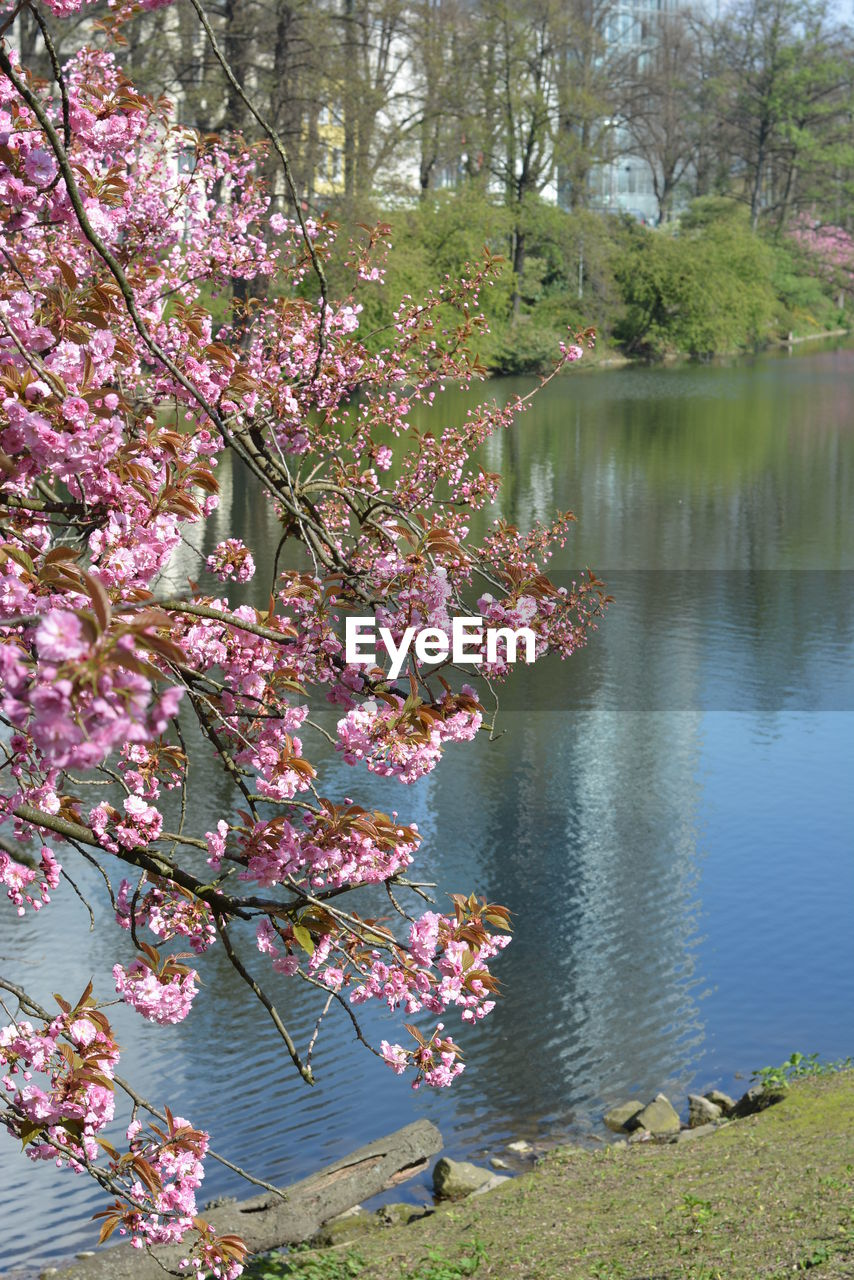 plant, beauty in nature, growth, flower, water, flowering plant, tree, pink color, nature, fragility, day, lake, no people, freshness, blossom, vulnerability, tranquility, tranquil scene, scenics - nature, springtime, outdoors, cherry blossom, spring, cherry tree
