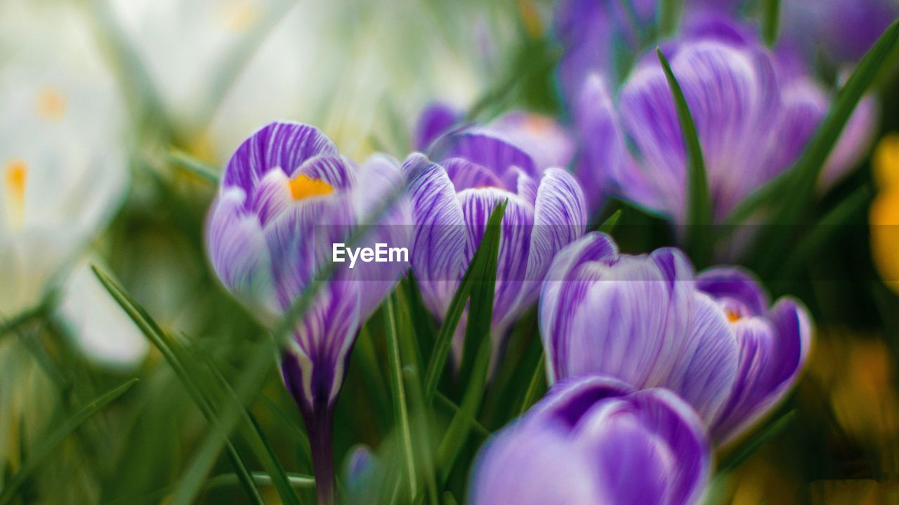 flowering plant, flower, plant, vulnerability, beauty in nature, freshness, fragility, purple, growth, petal, close-up, selective focus, flower head, nature, inflorescence, no people, iris, day, crocus, springtime