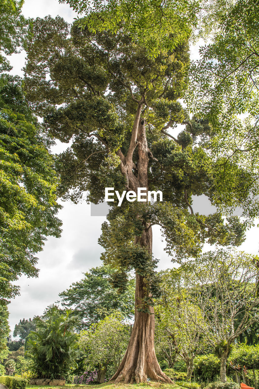 Low angle view of giant tree in forest