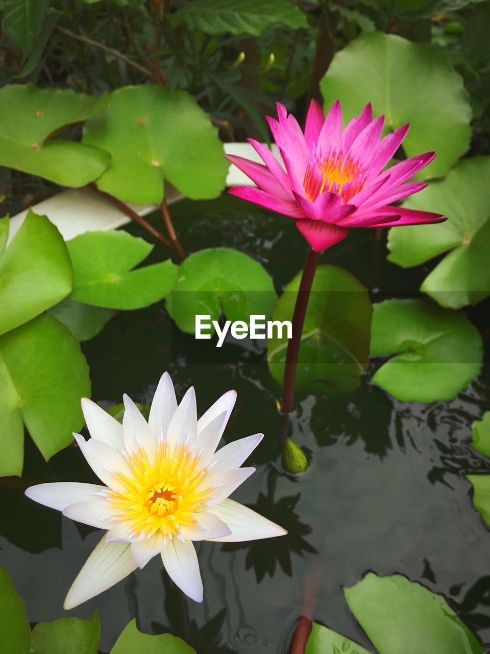 View of water lilies