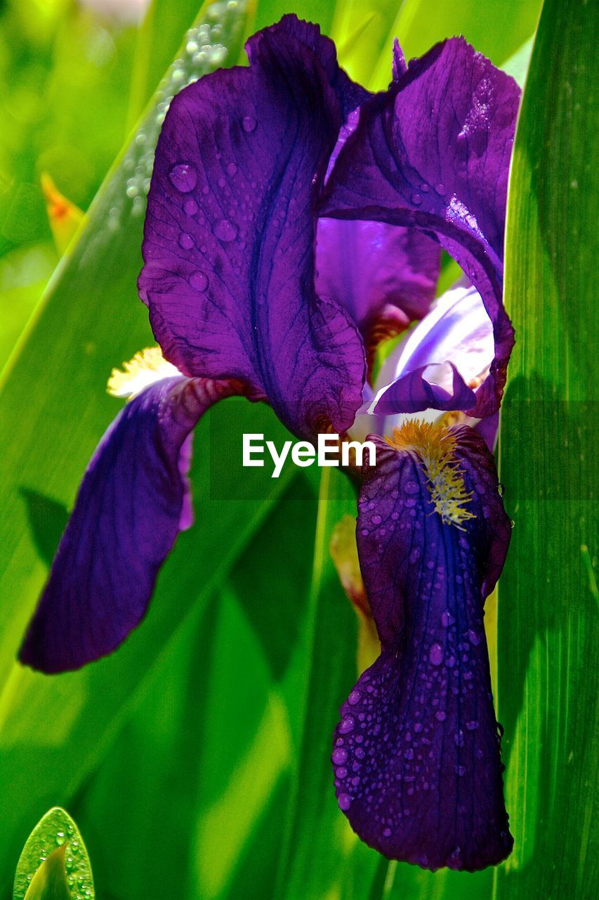 purple, flower, beauty in nature, petal, fragility, growth, nature, freshness, iris - plant, iris, drop, flower head, plant, no people, day, leaf, green color, close-up, outdoors, blooming, water