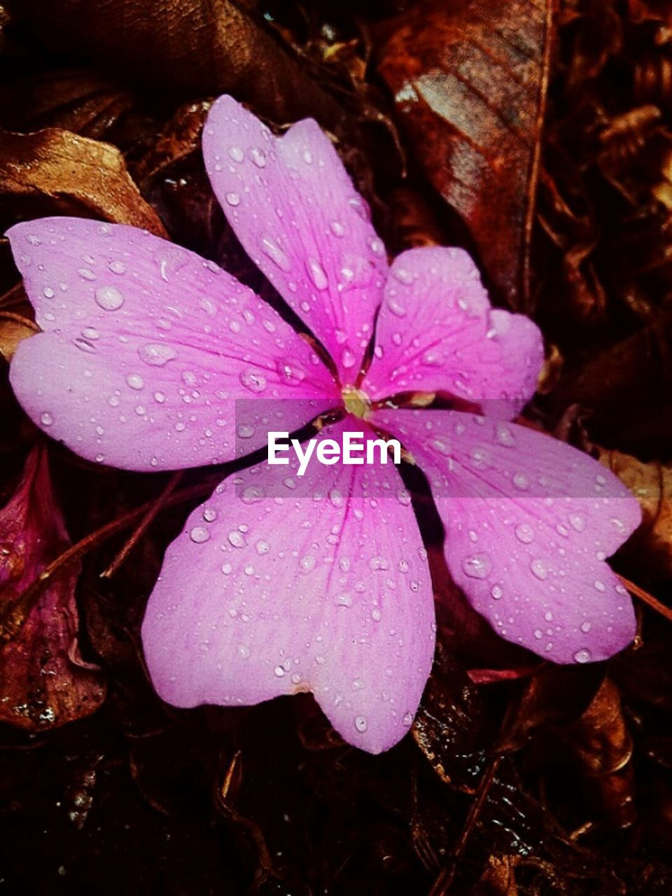 drop, wet, water, nature, beauty in nature, flower, fragility, petal, growth, close-up, day, flower head, no people, outdoors, periwinkle, raindrop, freshness, plant