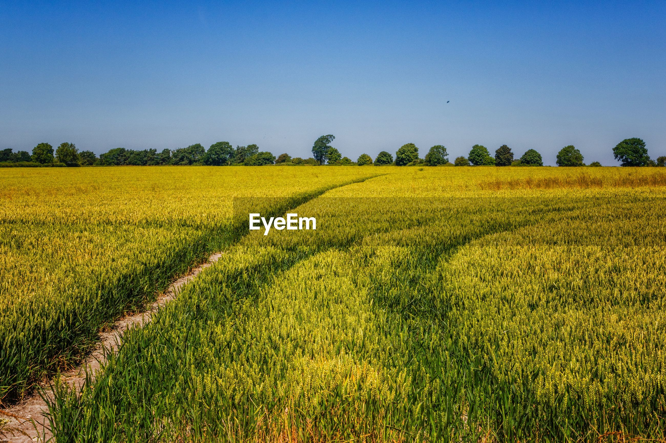 SCENIC VIEW OF CROP FIELD AGAINST CLEAR SKY