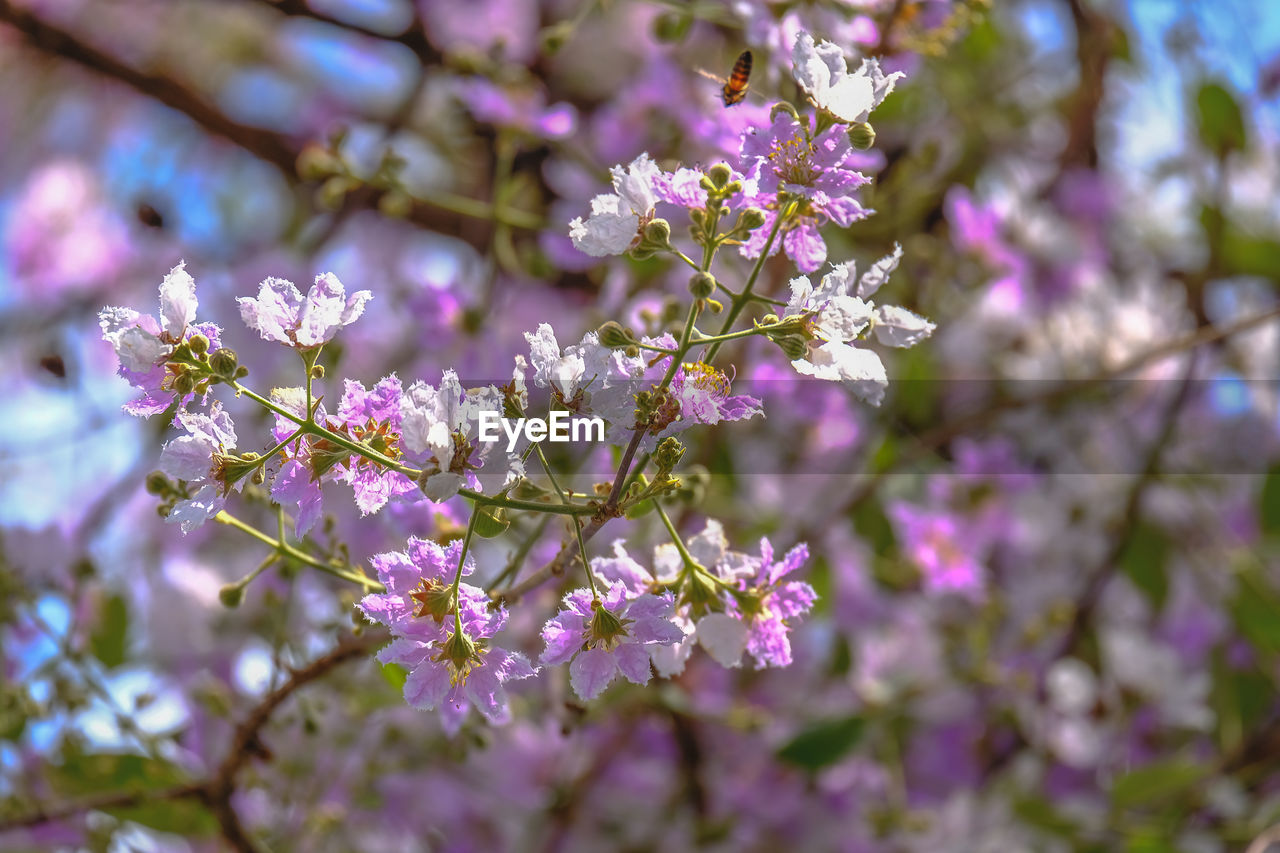 CLOSE-UP OF PURPLE CHERRY BLOSSOM TREE