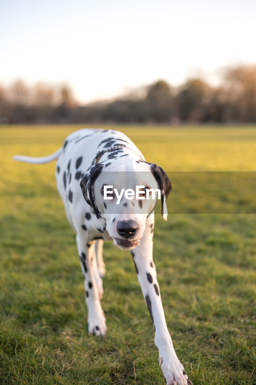 dalmatian dog, dog, one animal, pets, domestic animals, animal themes, mammal, field, grass, looking at camera, focus on foreground, day, outdoors, nature, portrait, no people