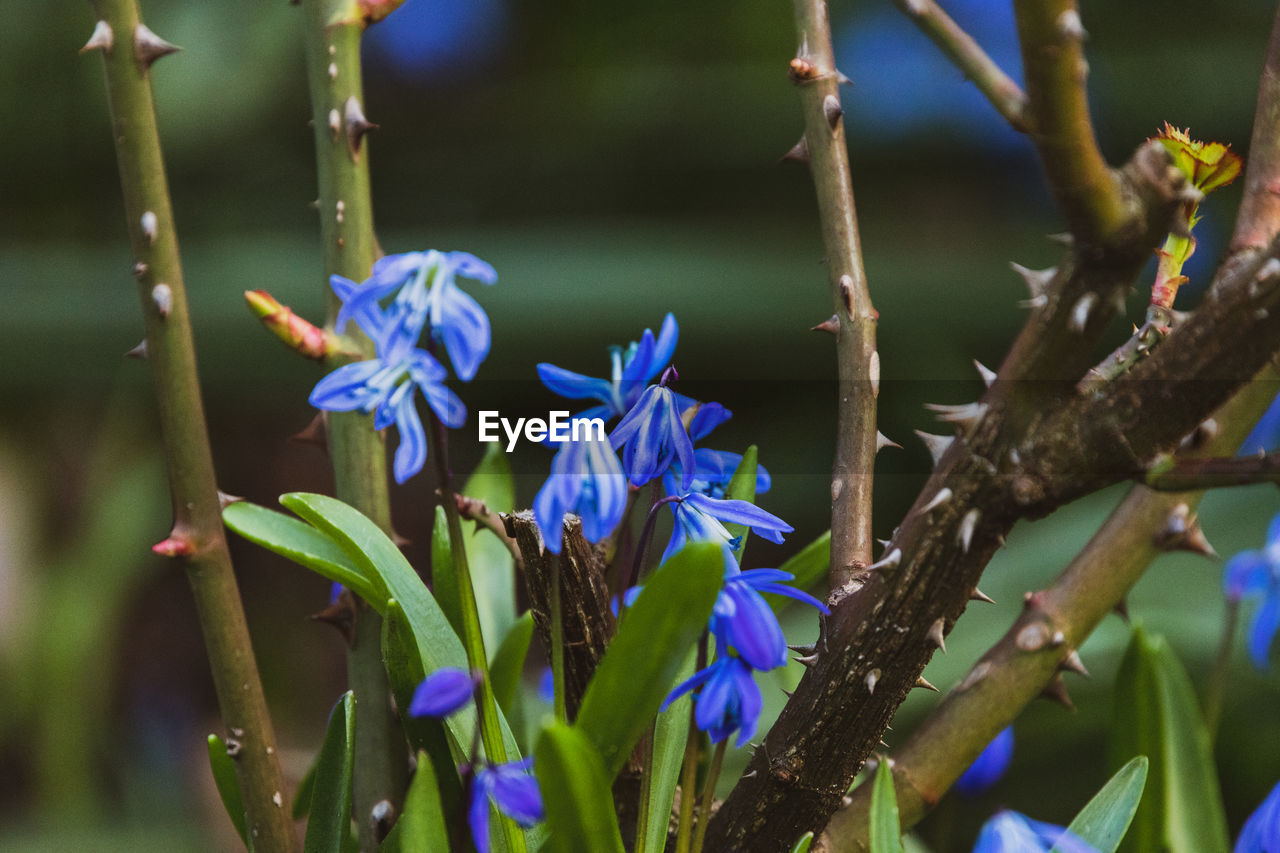 plant, flowering plant, flower, beauty in nature, growth, fragility, vulnerability, close-up, freshness, nature, focus on foreground, no people, day, purple, petal, selective focus, plant stem, blue, plant part, outdoors, flower head