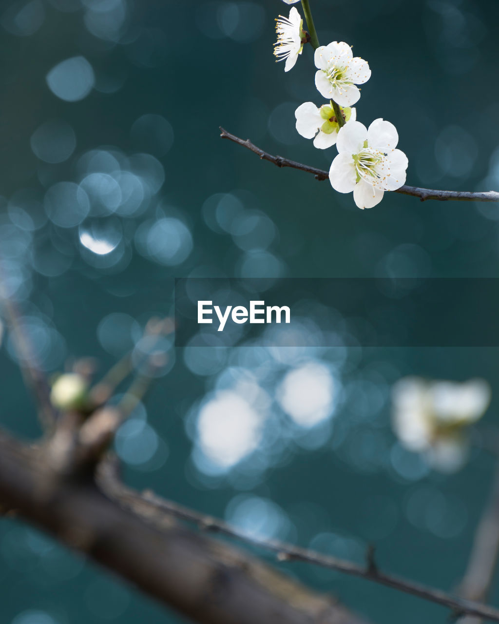 flowering plant, flower, plant, beauty in nature, fragility, freshness, vulnerability, growth, white color, nature, close-up, focus on foreground, selective focus, day, no people, flower head, inflorescence, petal, twig, blossom, springtime, outdoors, lens flare, cherry blossom, plum blossom, pollen, cherry tree