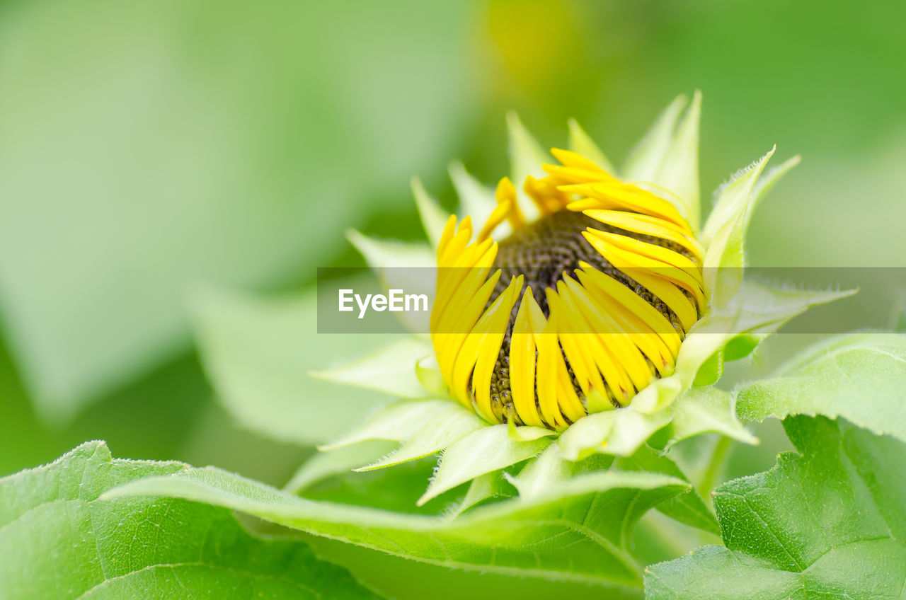 Close-Up Of Yellow Sunflower Blooming Outdoors