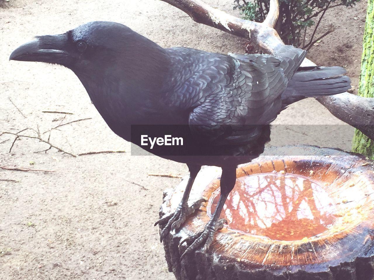 Close-Up Of Raven Perching On Bird Bath