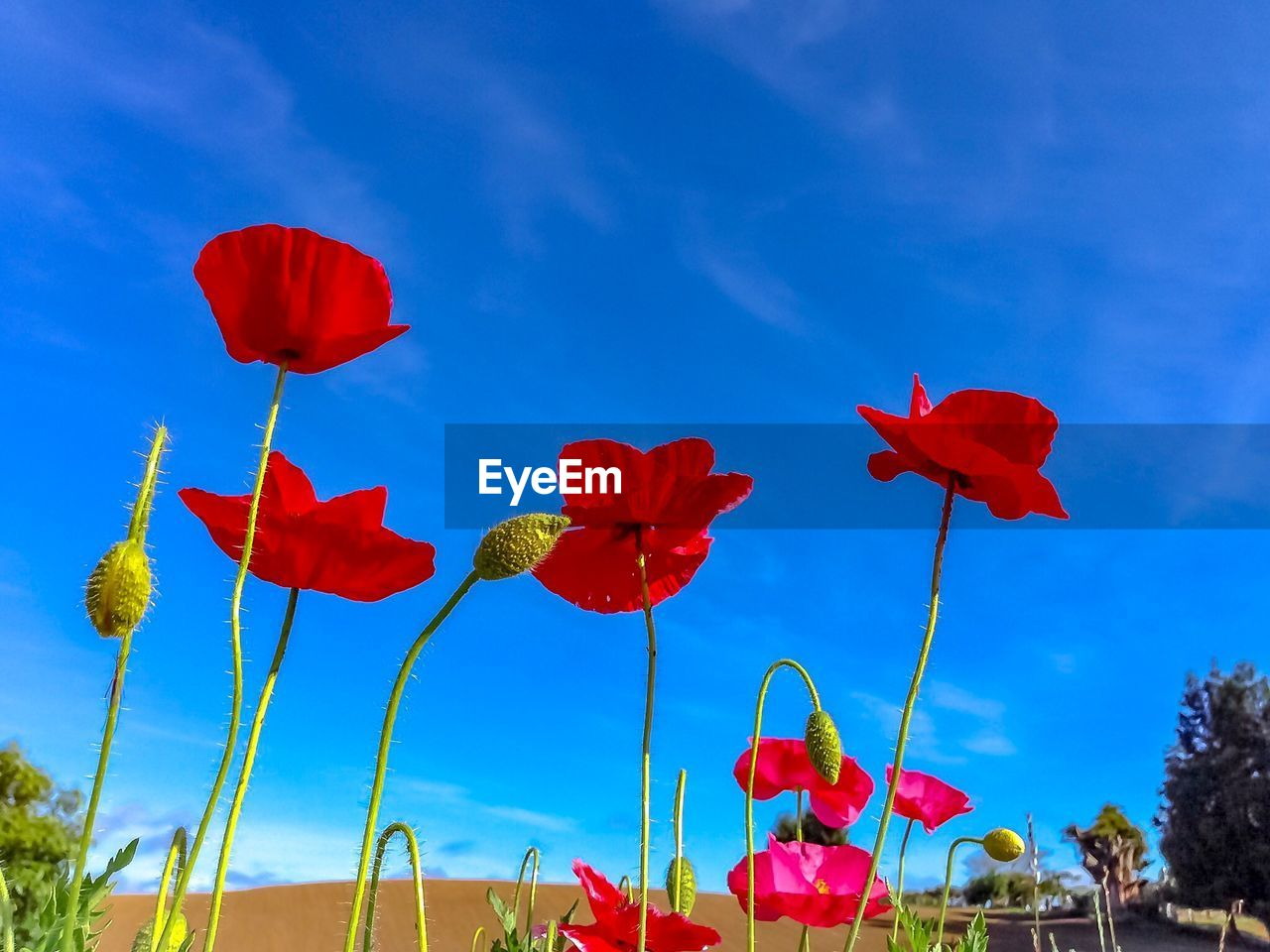 red, sky, flower, plant, flowering plant, nature, beauty in nature, freshness, growth, no people, petal, vulnerability, low angle view, fragility, day, cloud - sky, blue, flower head, close-up, sunlight, outdoors