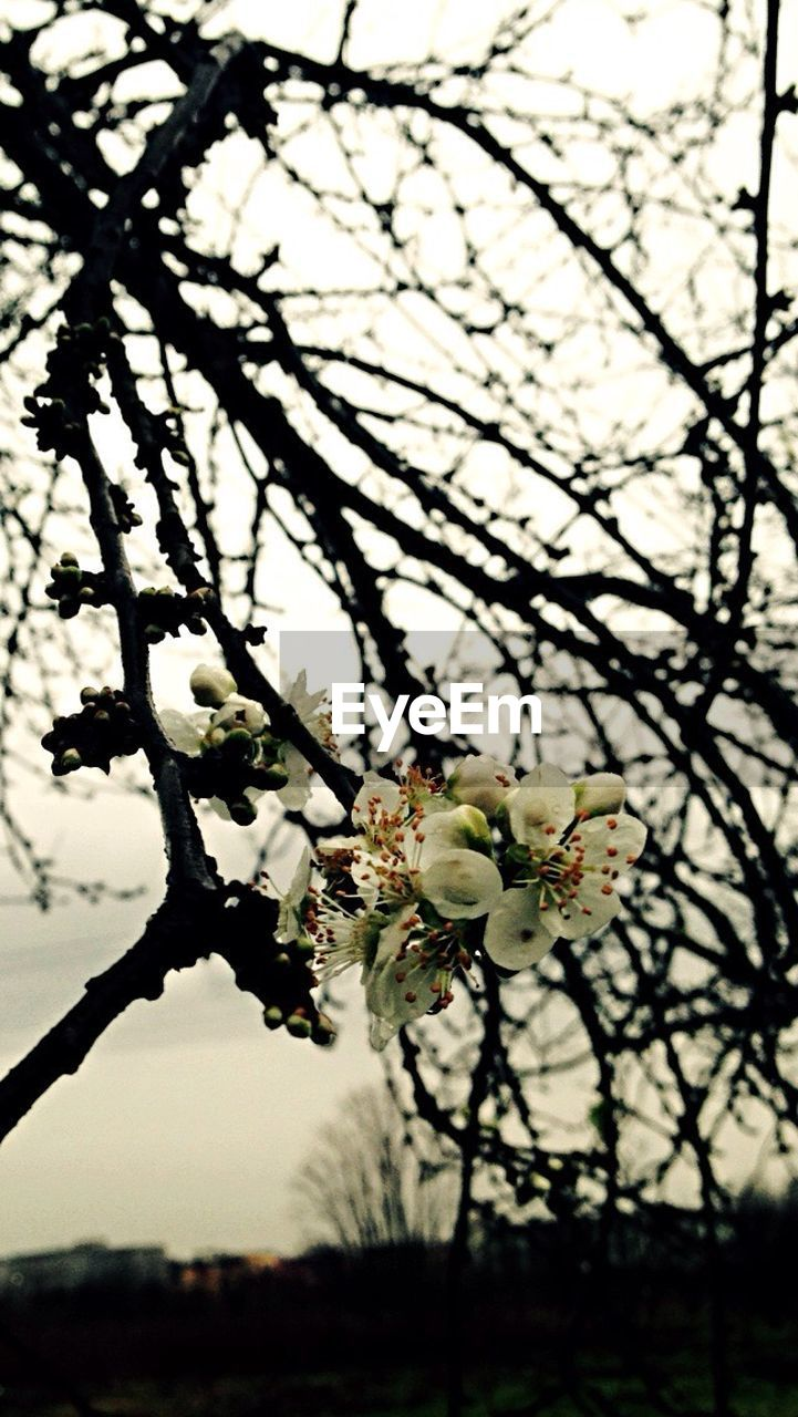 flower, tree, fragility, blossom, growth, beauty in nature, branch, springtime, freshness, nature, apple blossom, white color, orchard, apple tree, botany, twig, petal, focus on foreground, plum blossom, close-up, no people, flower head, selective focus, day, outdoors, blooming, sky