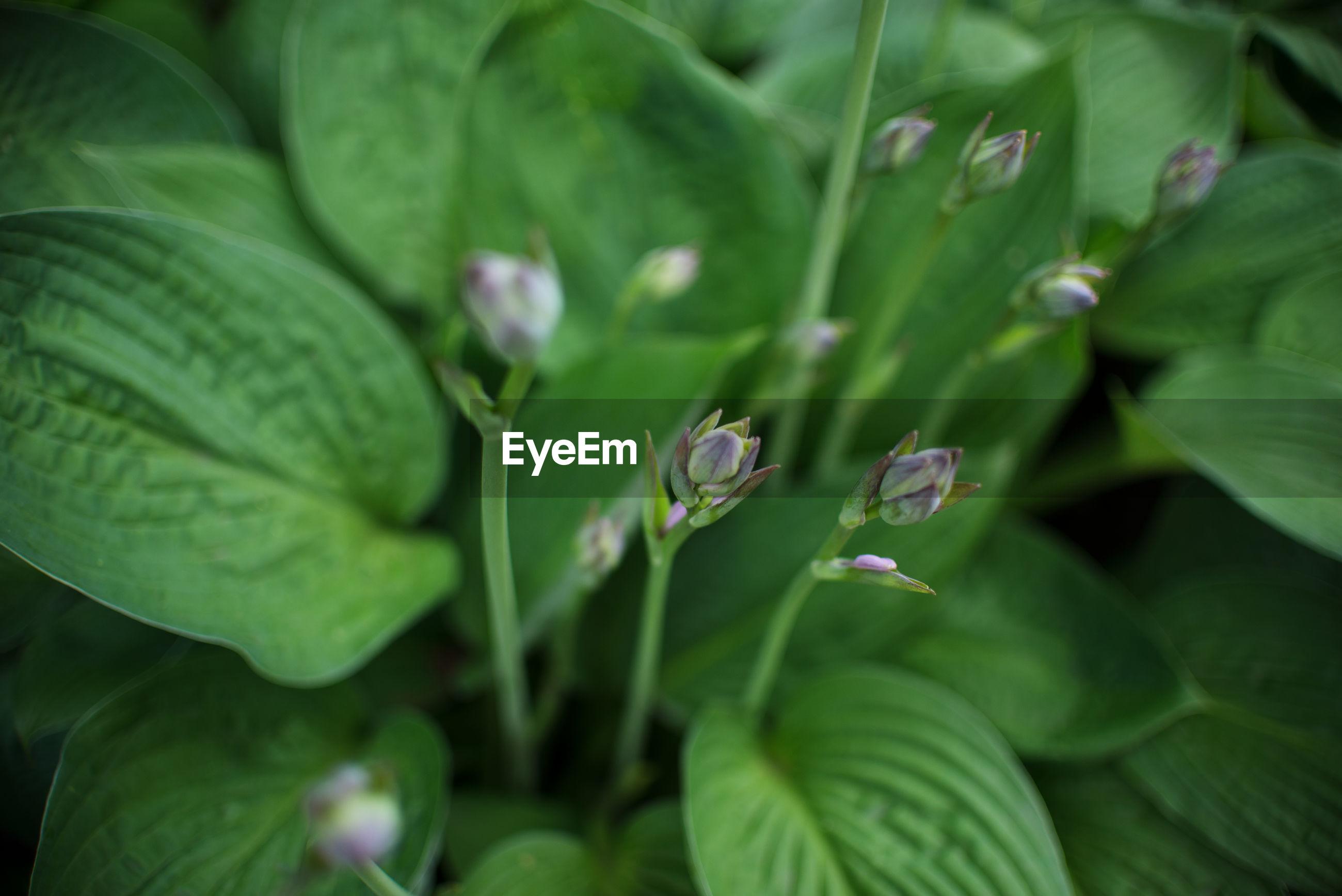 FULL FRAME SHOT OF FRESH GREEN PLANT LEAVES