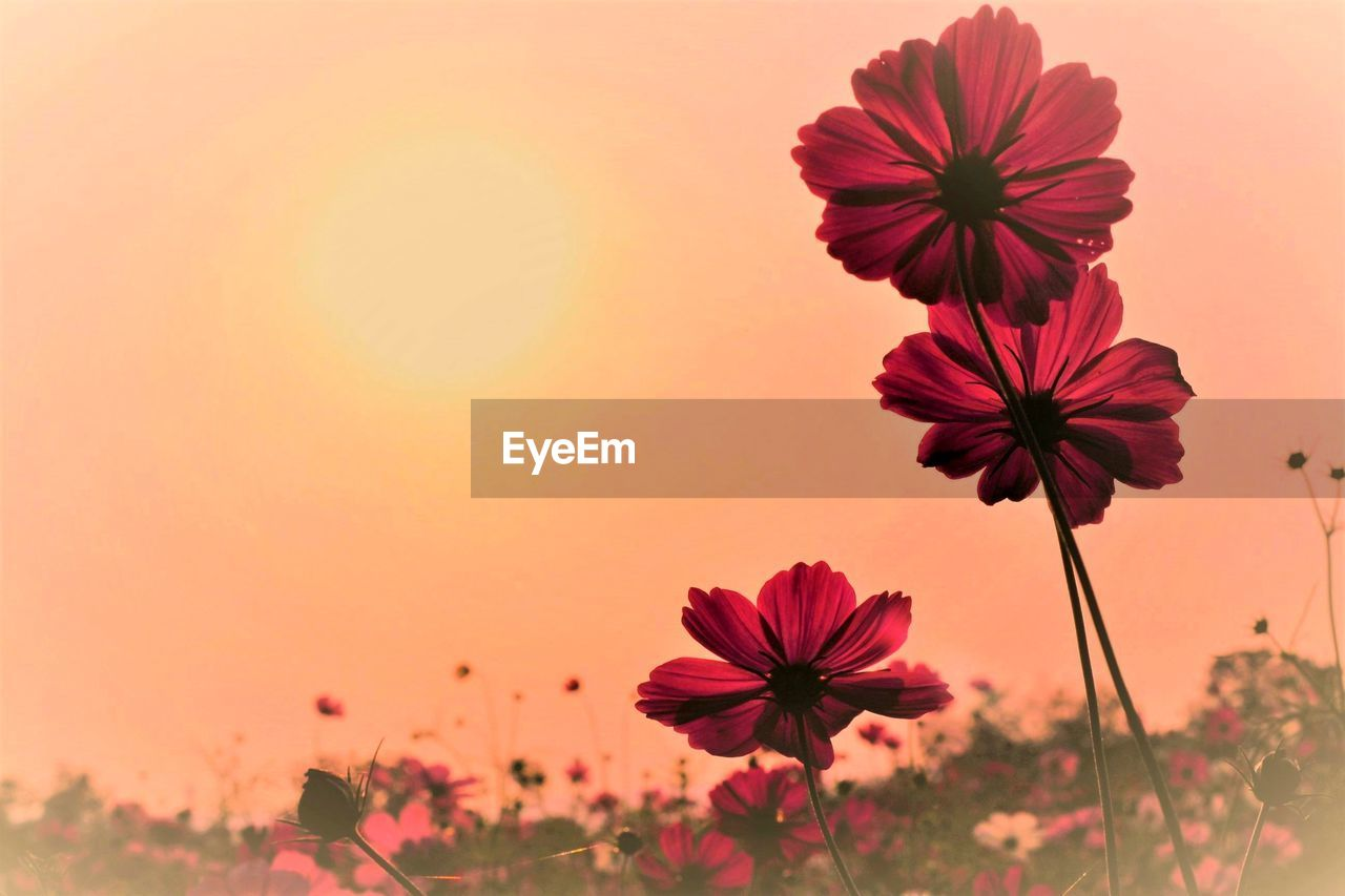 CLOSE-UP OF COSMOS FLOWER BLOOMING ON FIELD