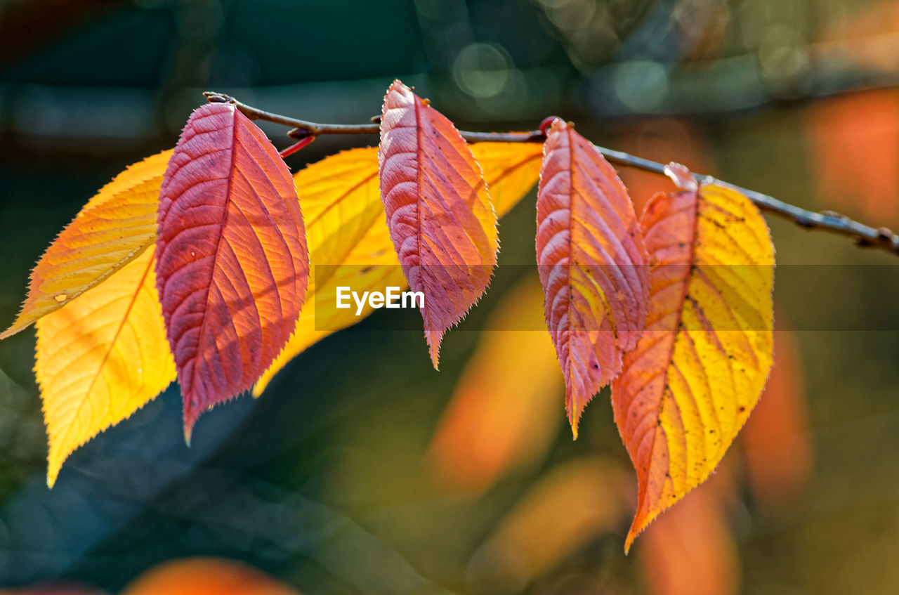 leaf, plant part, autumn, close-up, change, focus on foreground, plant, no people, nature, leaves, leaf vein, day, selective focus, beauty in nature, orange color, outdoors, growth, yellow, sunlight, vulnerability, autumn collection, natural condition