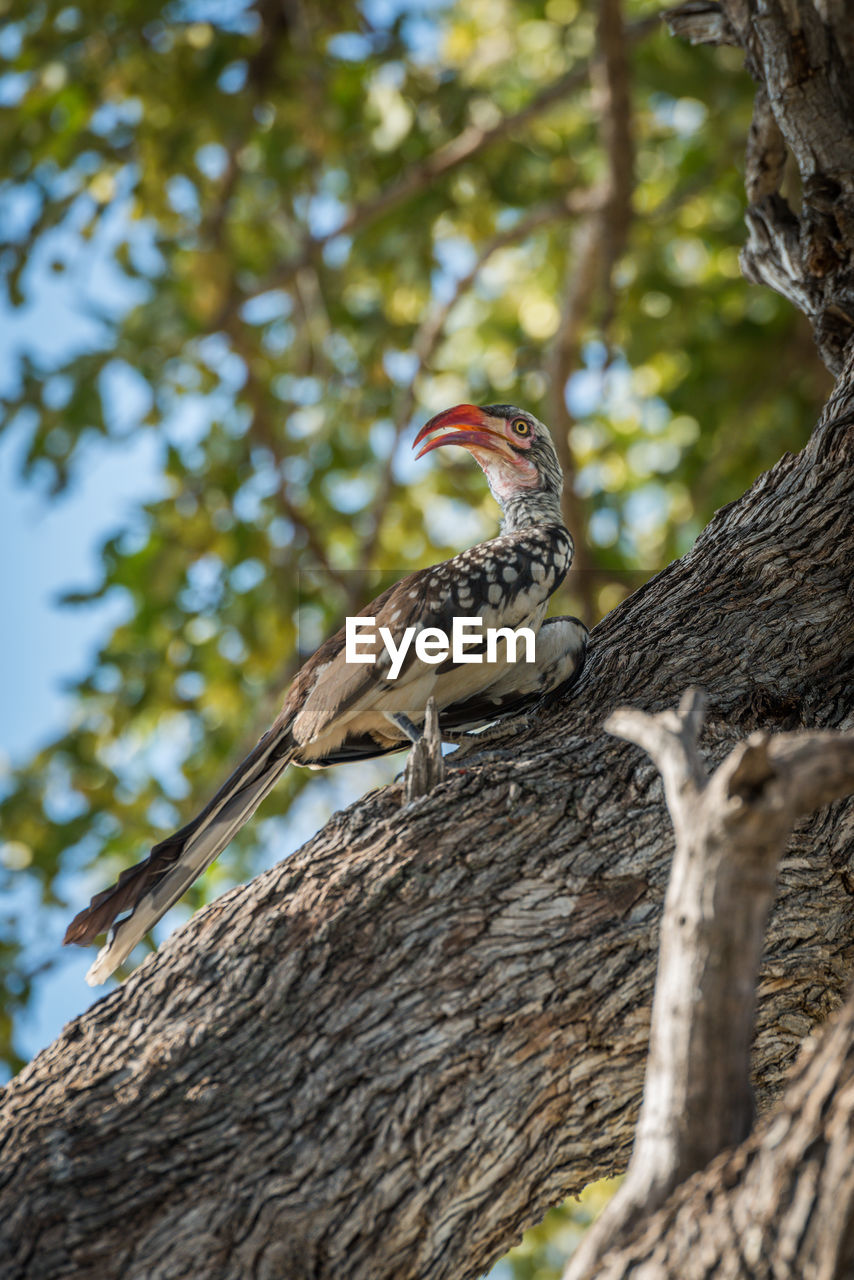 Low Angle View Of Red-Billed Hornbill Perching On Tree