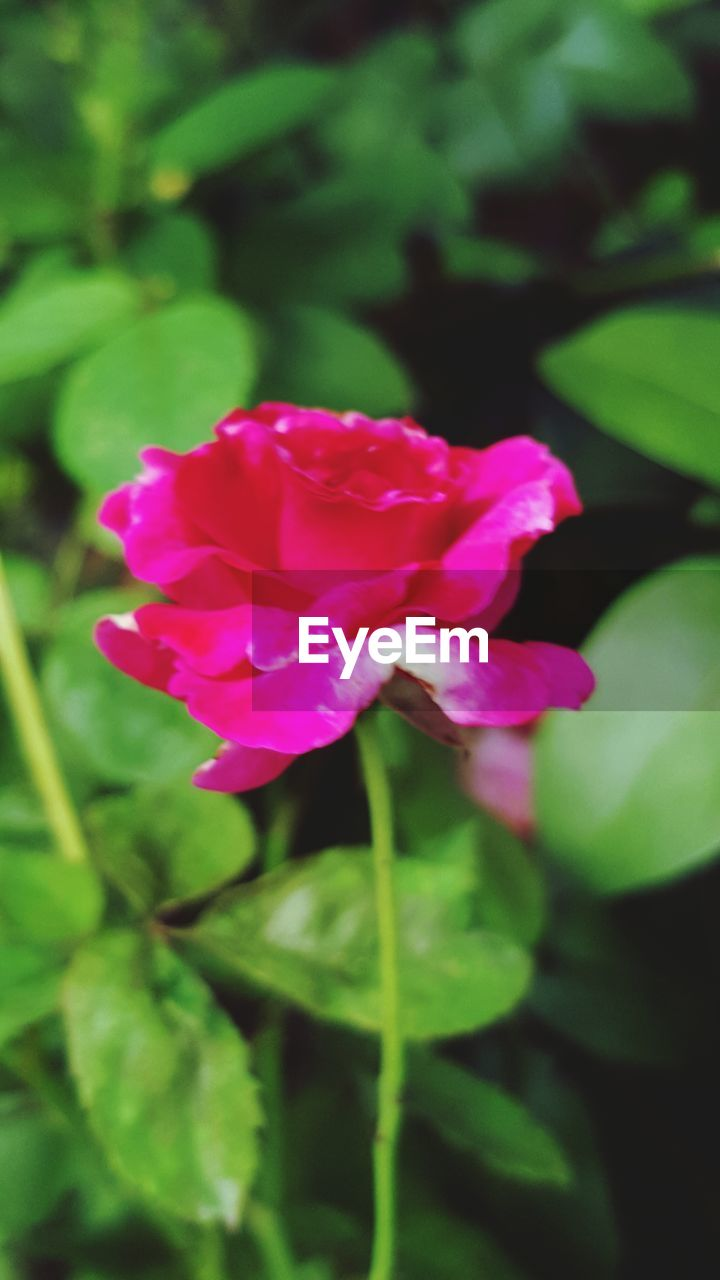 flower, petal, fragility, nature, beauty in nature, growth, pink color, plant, freshness, green color, flower head, no people, blooming, leaf, day, outdoors, close-up, periwinkle