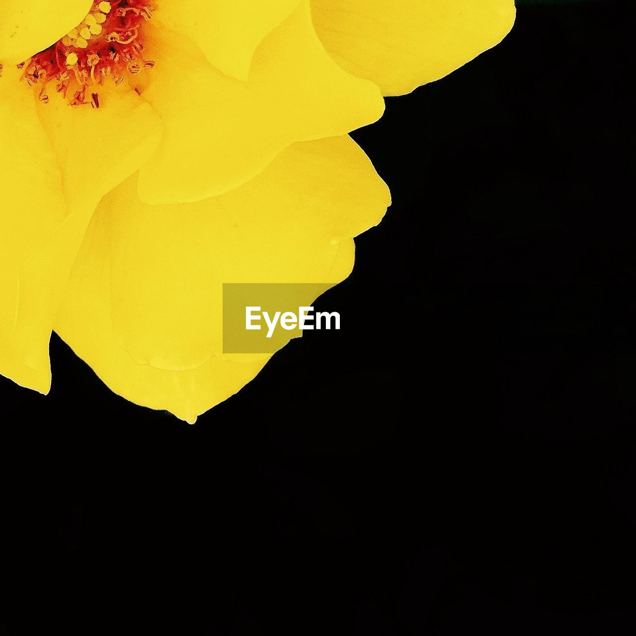 Cropped image of yellow flower over black background